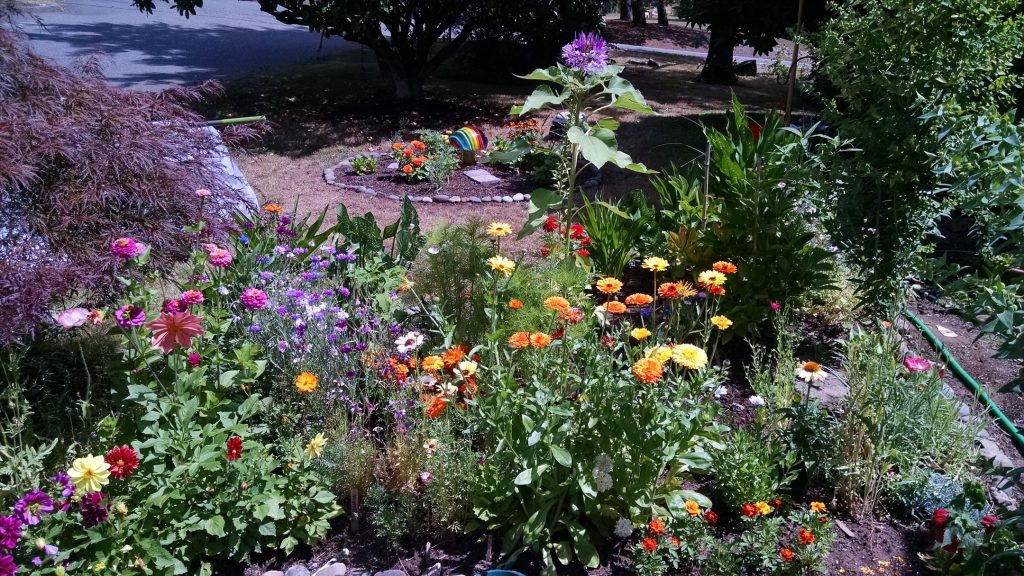Flower beds in bloom. Most of these I grew from seed.