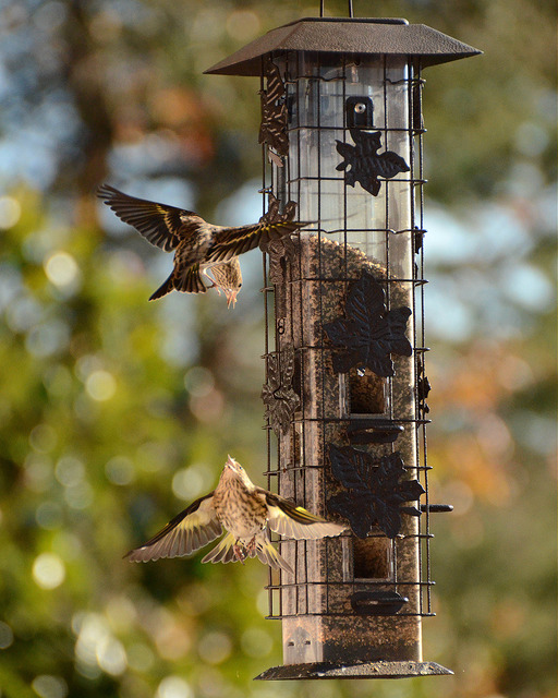 Pine Siskins have words at the feeder.